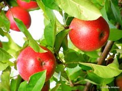 Ireland Orchard Apples-1