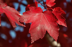 Red maple Flickr photo by H Robertson Photography. Click for original.
