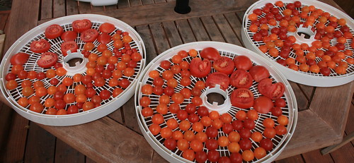Tomatoes on the dehydrator