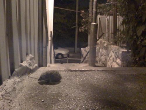 Hedgehog on path