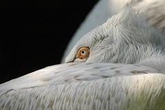 Pelikan im Zoo d'Amnéville