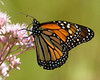 Monarch Sips from Joe Pye Weed