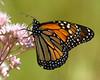 Monarch Sips from Joe Pye Weed