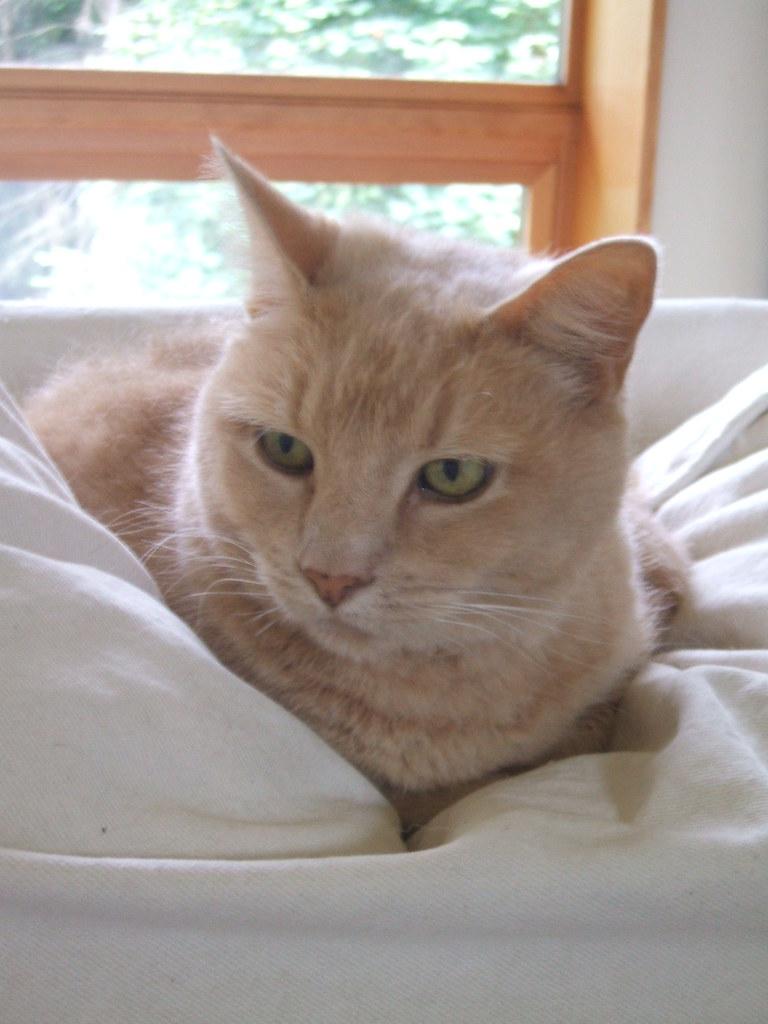 Feline host
