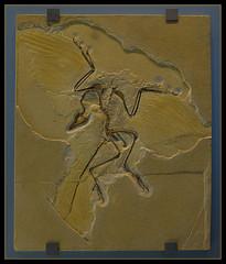 Archaeopteryx - Berliner Exemplar