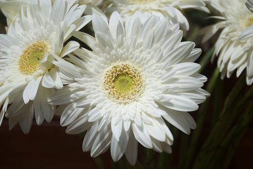 White Gerbera 05