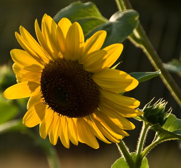 volunteer sunflowers in our garden