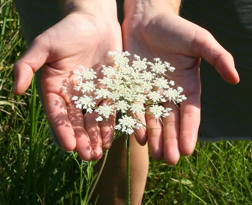 Queen Anne's Lace at Whiting Preserve