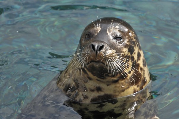 Seaworld- Seal__DSC3828-nx2