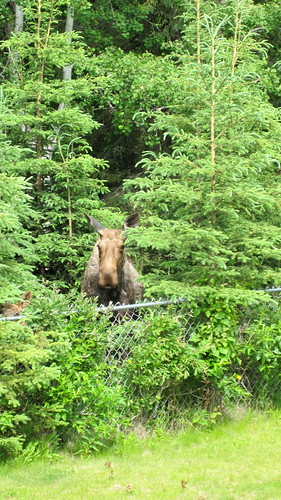 moose neighbor