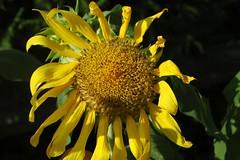 Sunflower1a