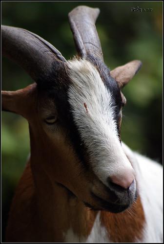 Goat (Capra aegagrus)