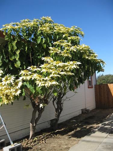 That's a big poinsettia tree!