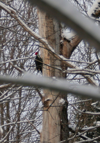 Pileated Woodpecker male