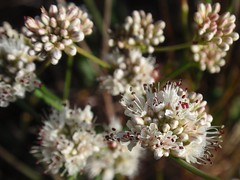 Buckwheat 01