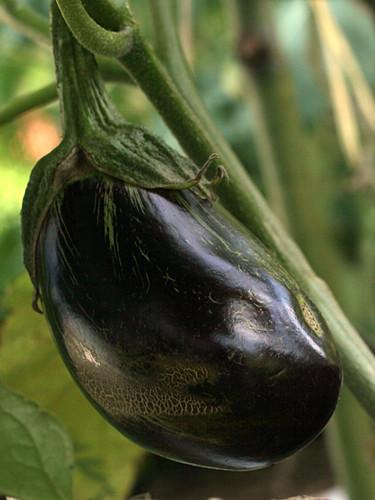 Eggplantnew