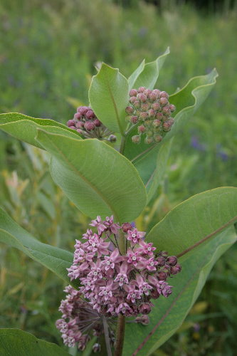 Common Milkweed, Asclepias syriaca