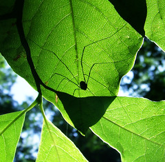 Daddy long-legs on spicebush leaf, mid-August