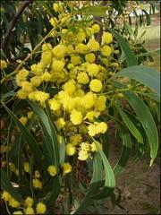 Golden Wattle - Australia's floral emblem