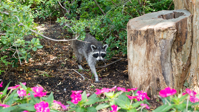 Raccoon at the Arboretum
