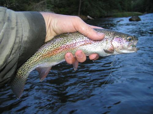 Upper Wllamette Rainbow