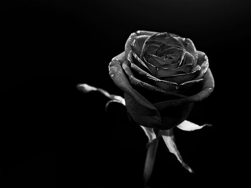 Noir rose by Costelodc