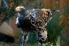 Kaiseradler im Zoo d'Amnéville