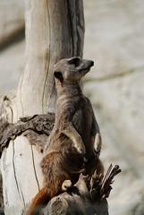 Erdmännchen im Zoo Parc de Beauval