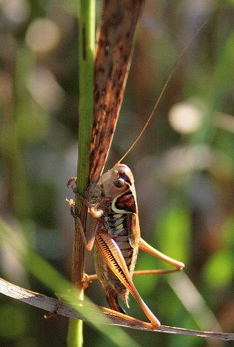 Metrioptera roeselii - Roesel's Katydid
