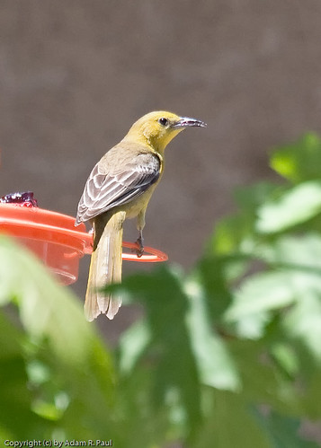 Hooded Oriole? by you.