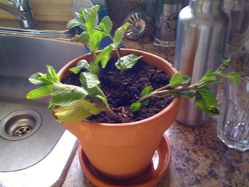 planted mint cuttings