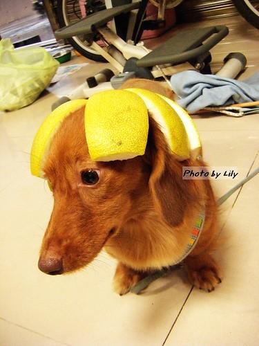 很不情願的戴著柚帽的栗子。