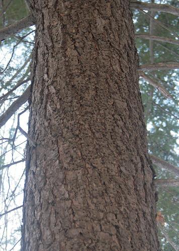 Holes of Hemlock Borer, Melanophila fulvoguttata?