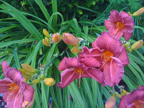 Lillies_0617