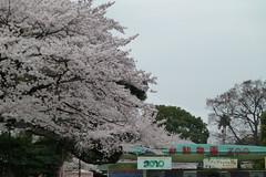 上野恩賜公園の桜(Cherry blossom at Ueno park, Japan, 2010)