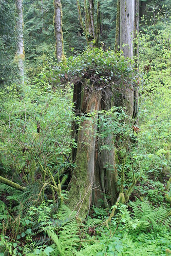 Cougar Mountain - Licorice Fern Trail - Life Starts Again on Stump