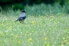 Hooded Crow Tiptoeing Through the Buttercups