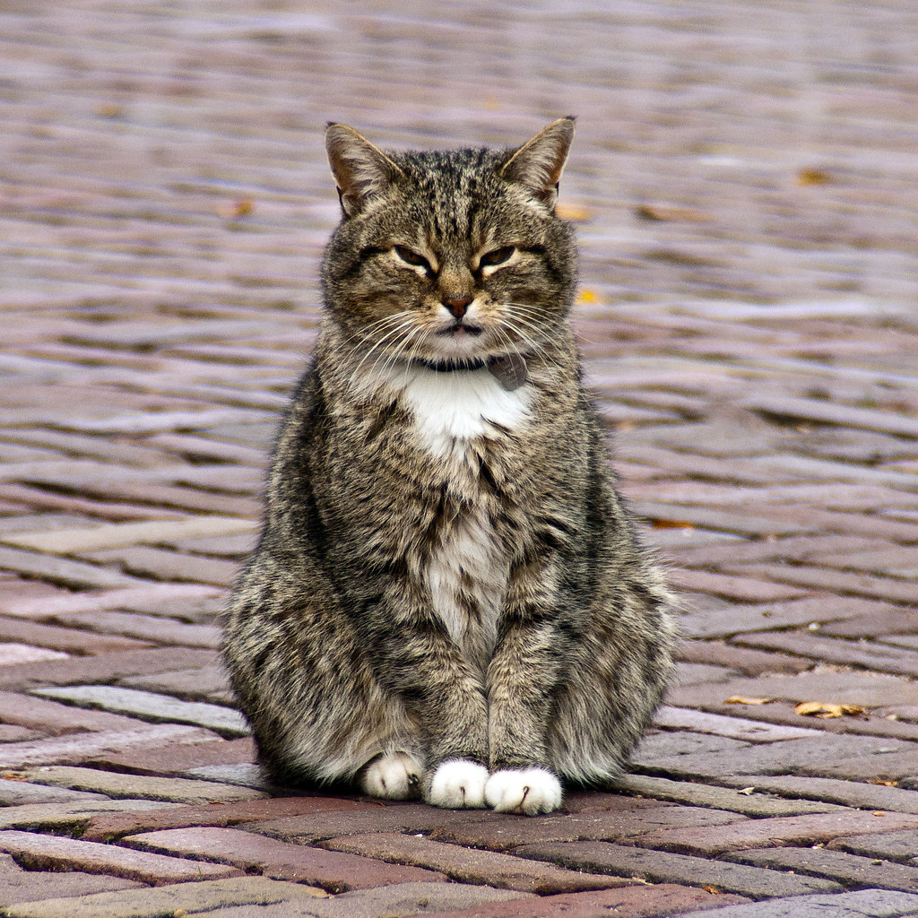 Dutch cat