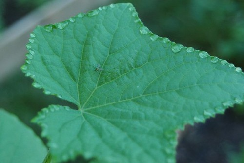 Cucumber leaf with dew around the edges 1