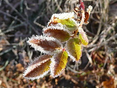 Frost-studded