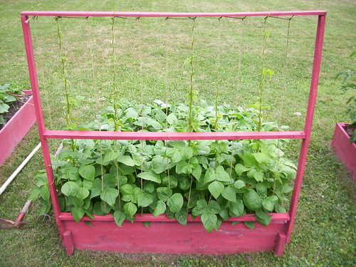 Raised bed with pole beans and bush beans
