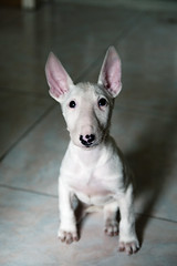 点儿八  - puppy English bull terrier
