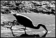 Little Egret - monochrome