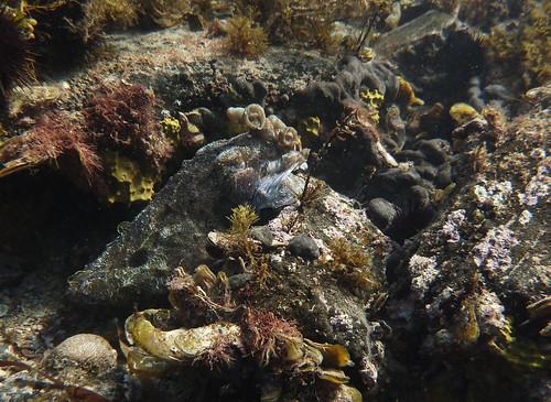 Giant Cuttlefish camouflage