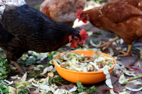 Chickens Eating Apple Peels