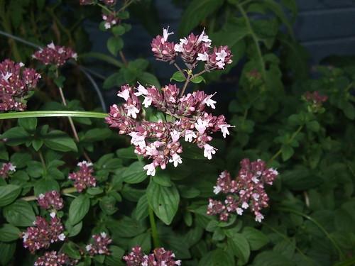 Oregano Blooms