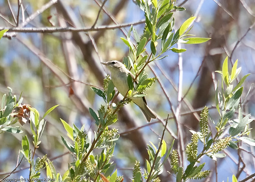 Bell's Vireo by you.