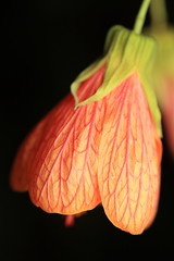 Flowering Maple / Abutilon striatum / 浮釣木(ウキツリボク)