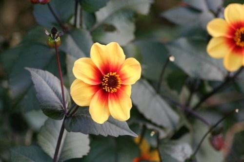 Dhalia Moonfire, Royal Botanic Garden, Edinburgh