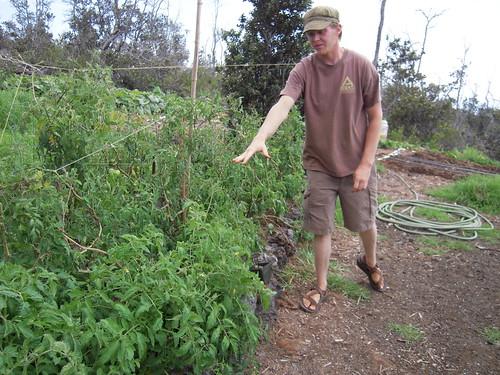 Volunteer tomatoes